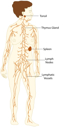 Lymphatic system and immune. Growth drawing body svg black and white