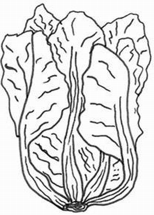 Cabbage clipart cabbage plant. Drawing at getdrawings com