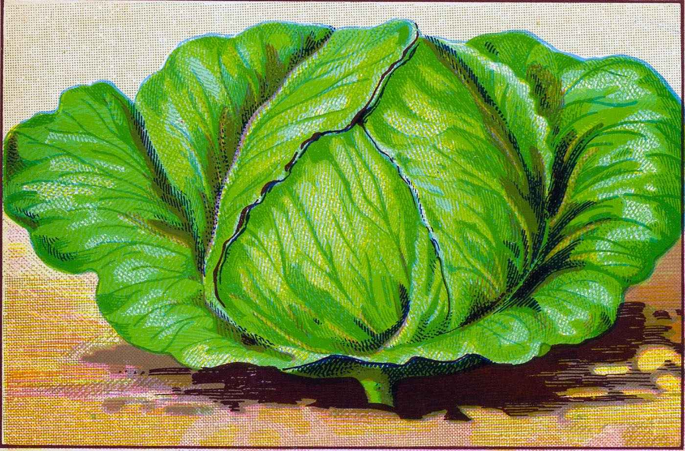 Cabbage clipart cabbage plant. Clip art related keywords