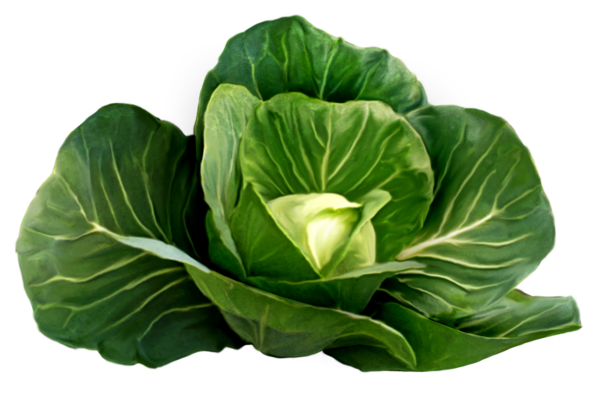 Cabbage clipart cabbage plant. Picture fruits vegetables pinterest