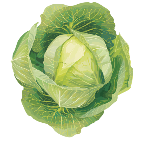 Cabbage clipart illustration. Pin by courtney patterson