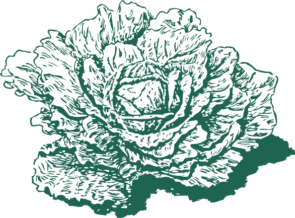 cabbage drawing png