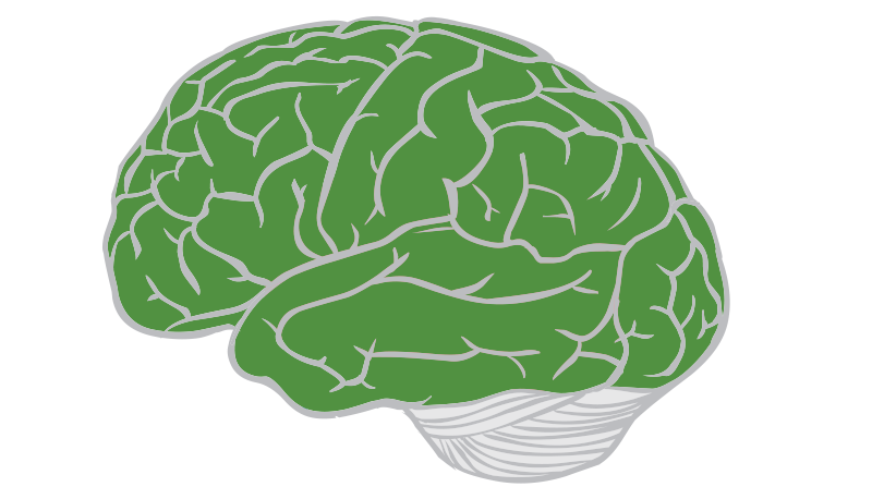 Lobes of the brain. Cabbage plan view png black and white download