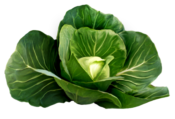 What diet do you. Cabbage plan view png svg library stock