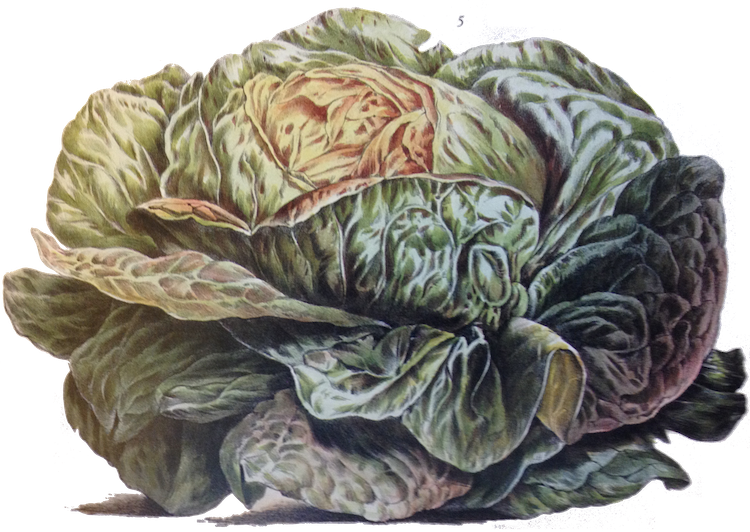 Cabbage plan view png. The promise of seeds