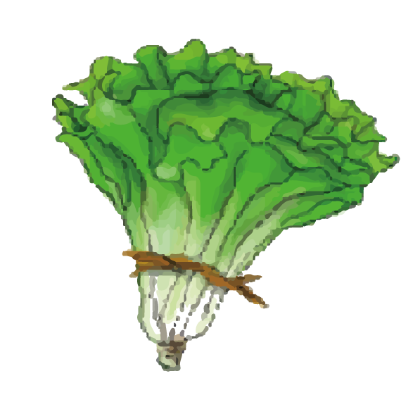 Lettuce cartoon png. Cabbage leaf vegetable green