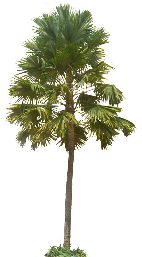 Cabbage tree in plan png. A collection of tropical