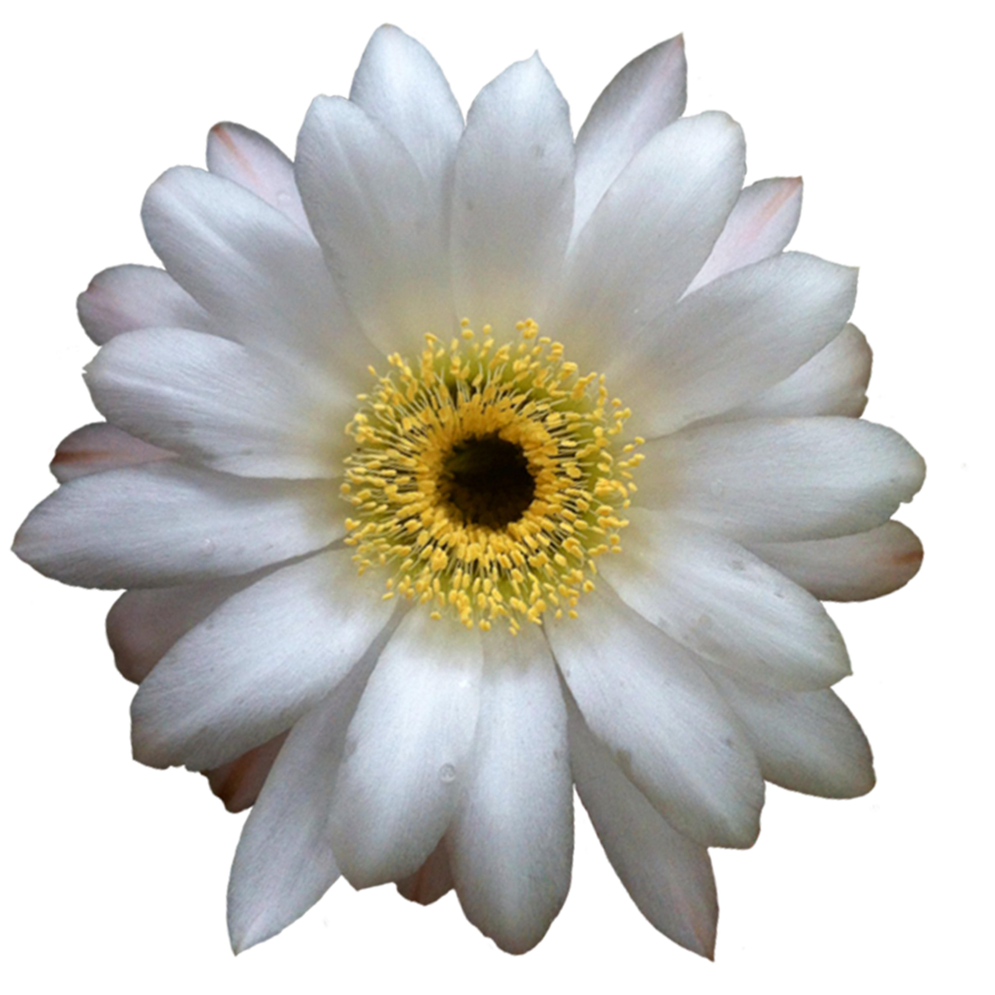 Cactus flower png. File extracted wikimedia commons