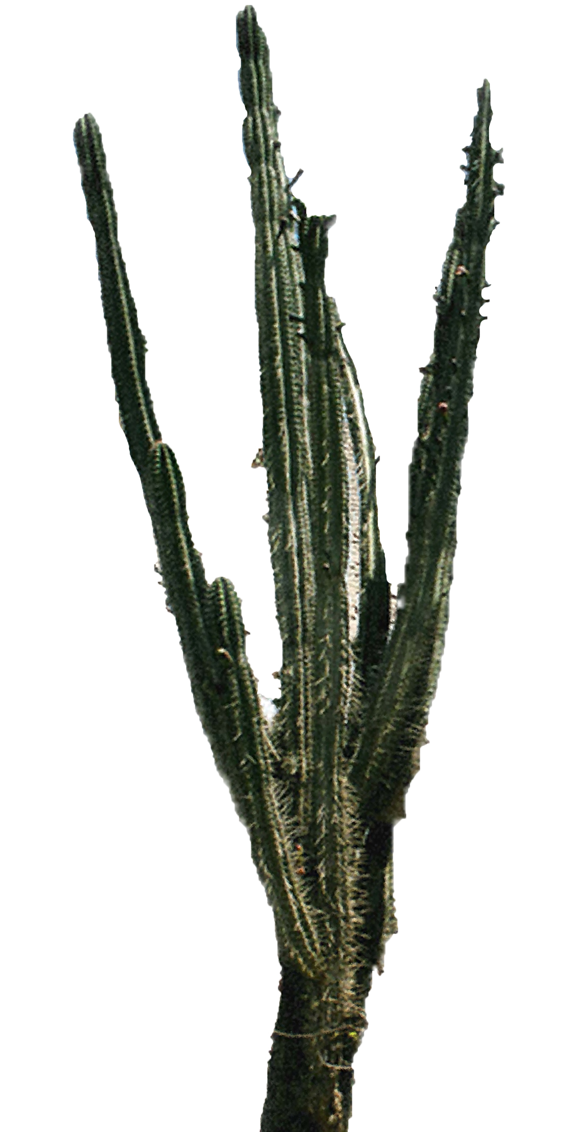Cactus png. Download free high quality