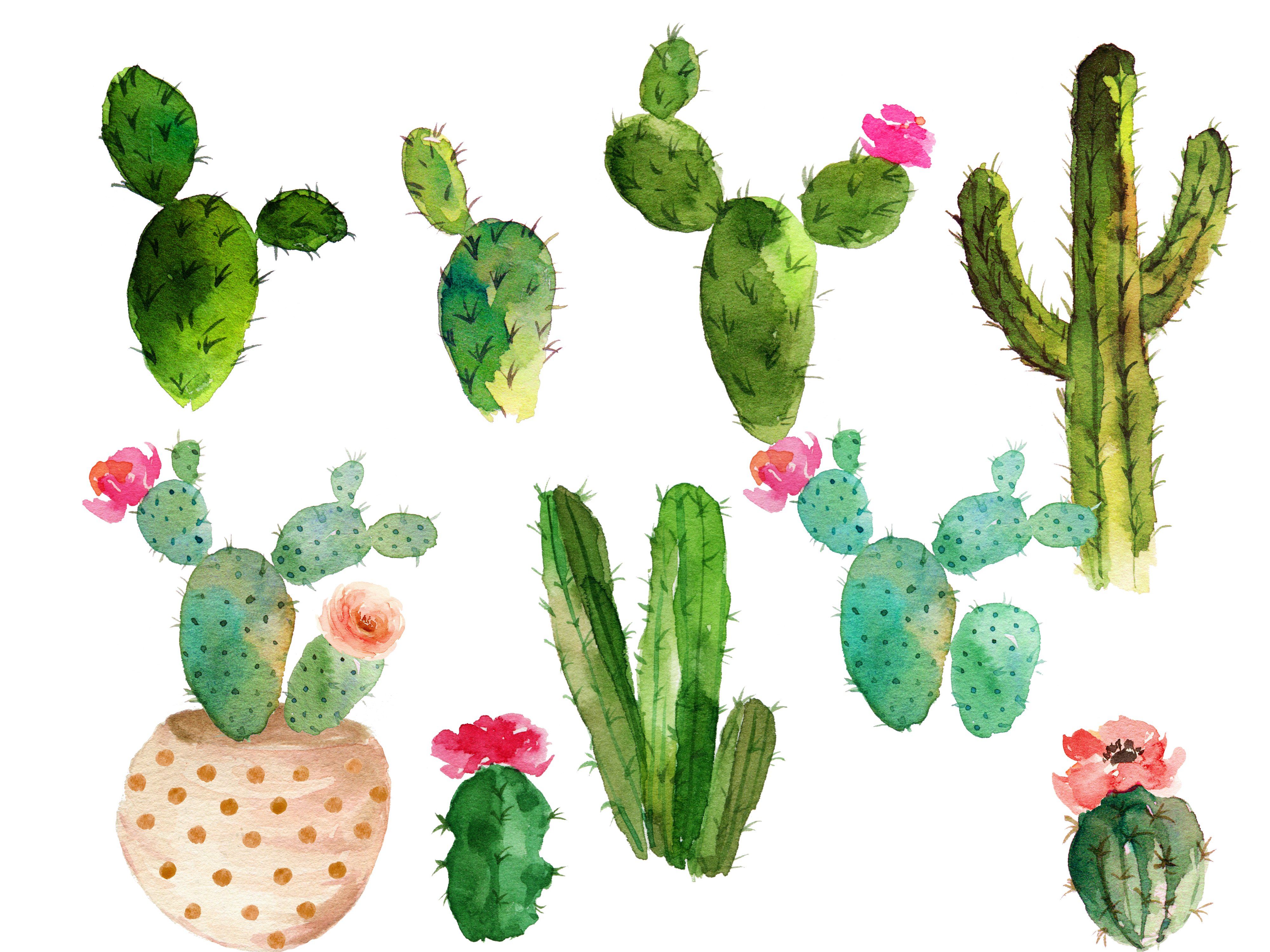 Cactus water color png. Cactaceae watercolor painting drawing