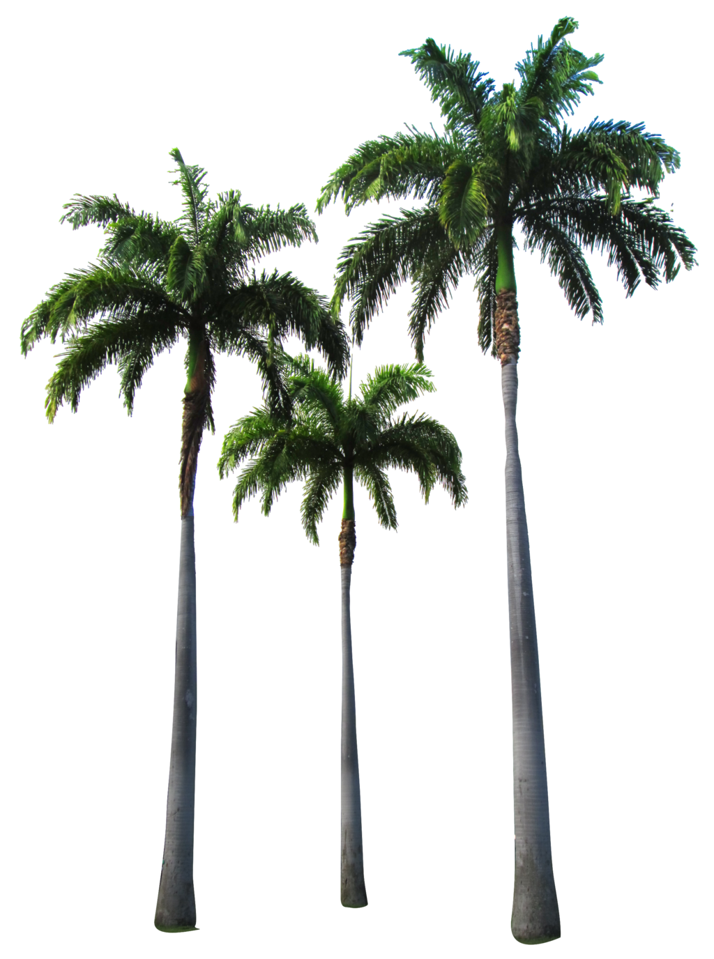 California palm tree png. Trees by owhl stock
