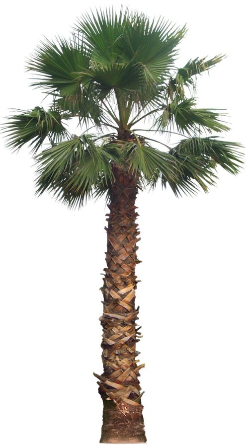 Date palm tree png. Pin by xinleyuanwei on