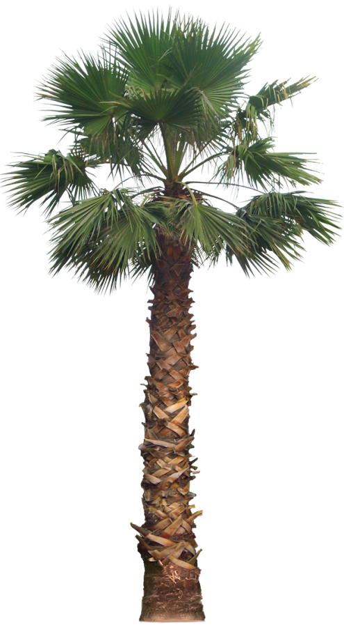 California palm tree png. Images for architecture