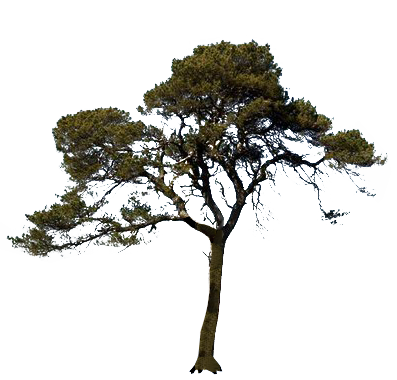Pin oak png. Icon pine tree transparentpng