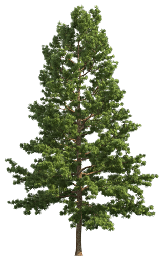 Realistic tree clip art. Pine trees clipart png banner black and white