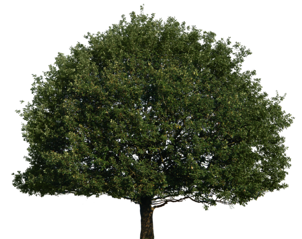 Big trees png. Tree by gd on