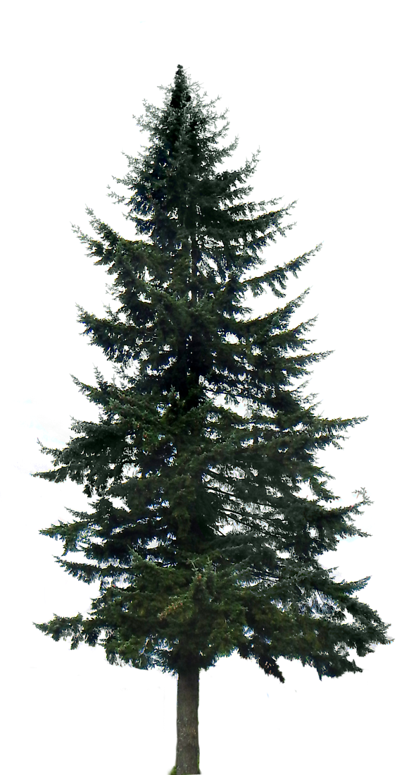 Forest pine trees png. Tree images free
