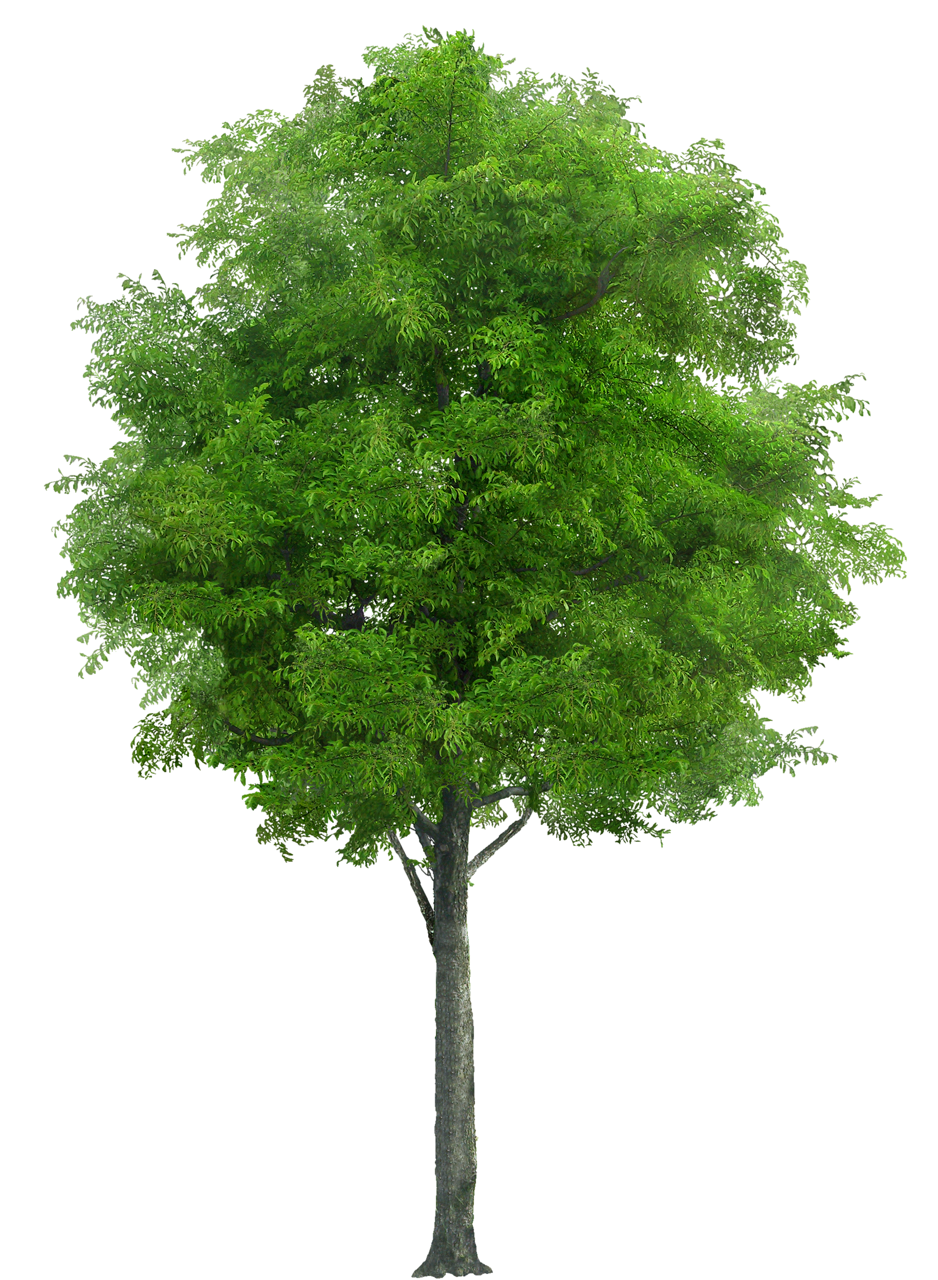Pine tree plan png