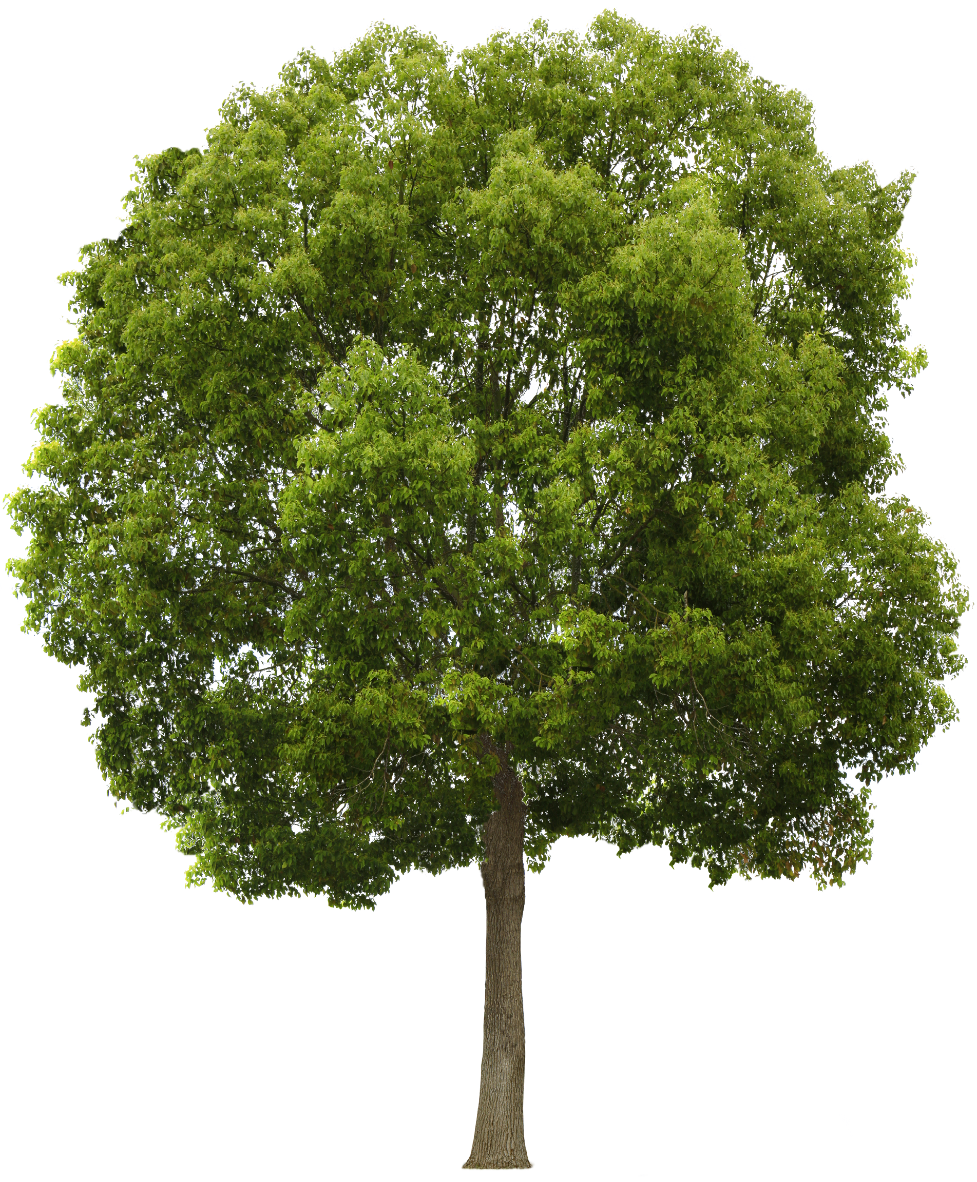 California sycamore png. Image result for tree