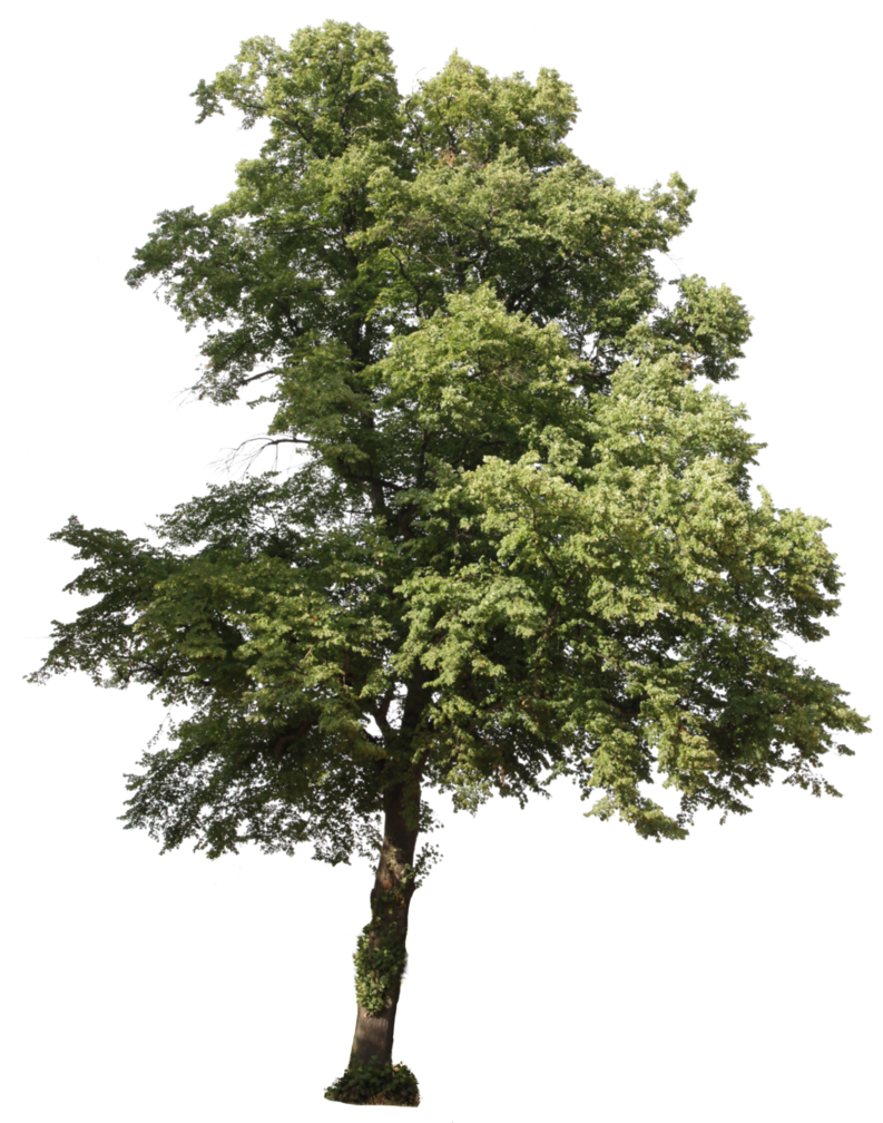 California sycamore png. Free download drzewa pinterest