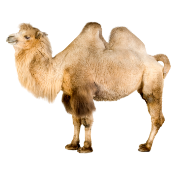 Drawing camels ink. Real camel two clipart