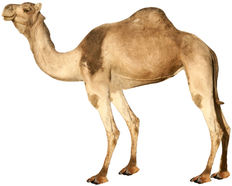 Camel transparent hump day. Happy hour