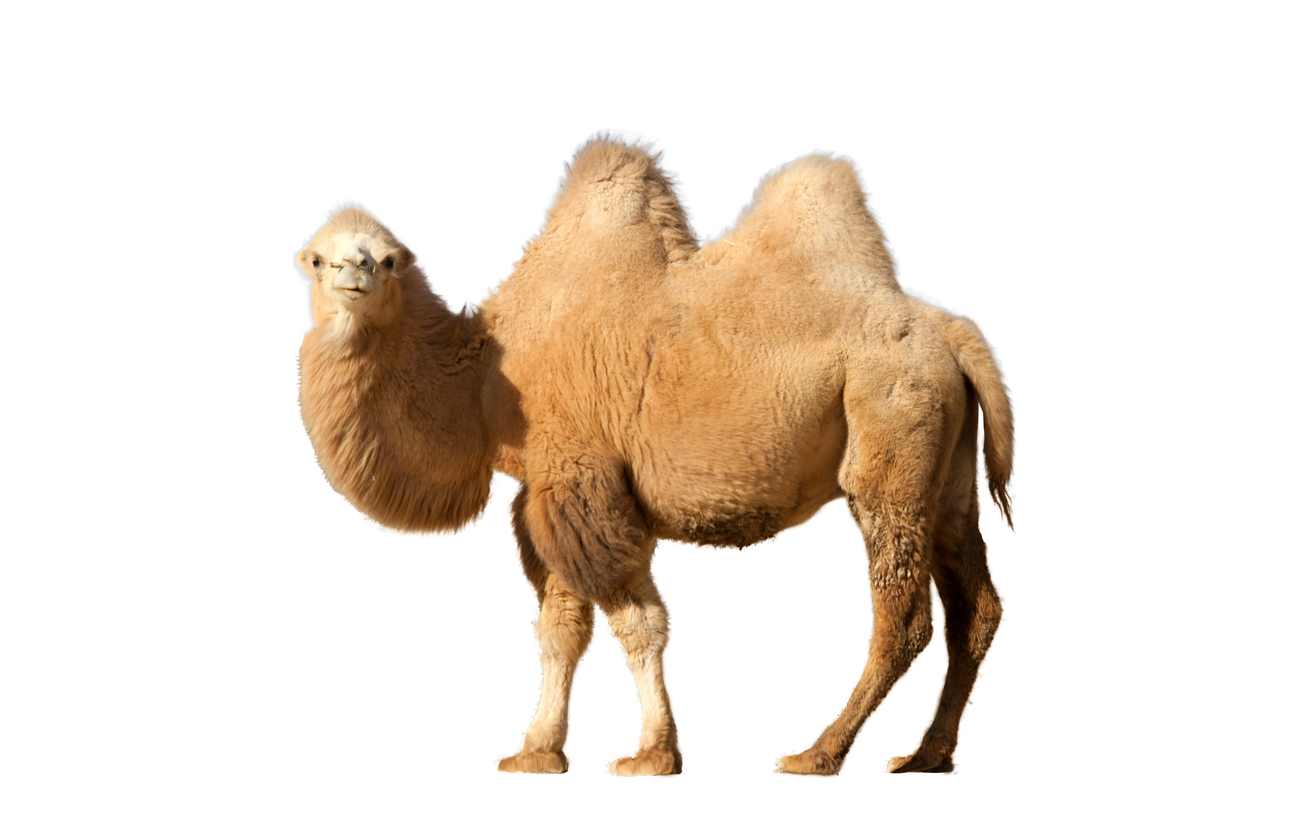 Camel transparent walking. Lookin to side png