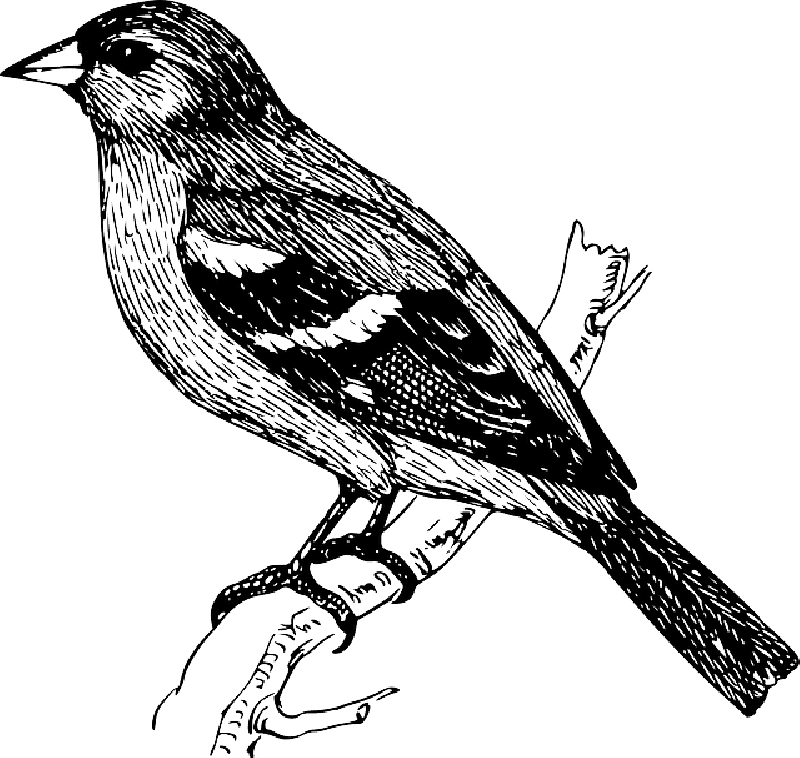 Canary drawing. Bird on a branch