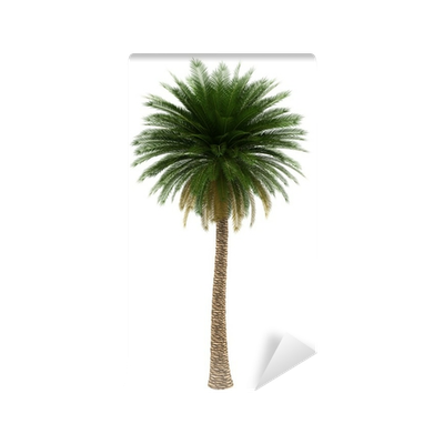 Canary palm png. Island date tree isolated