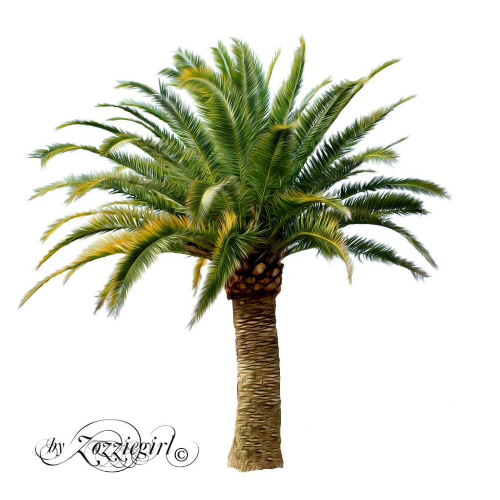 Canary palm png. Cp paurb treepng by