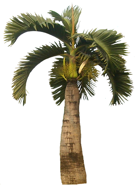 Canary palm png. Cp paurb september palmtreenobackgroundpalmtreepngclipartpng