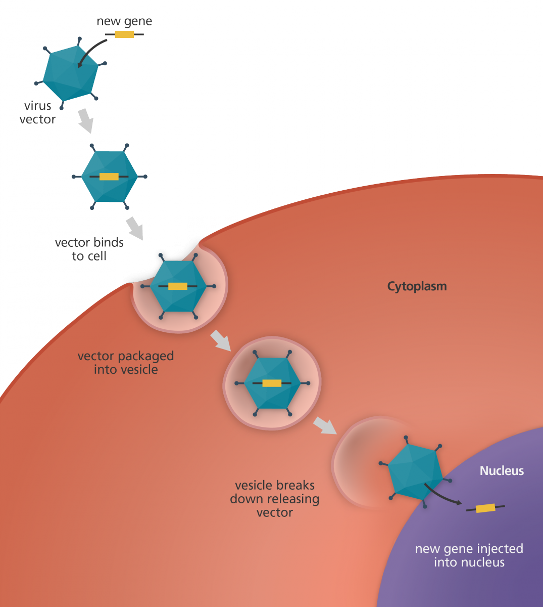 Cancer vector virus. What is gene therapy