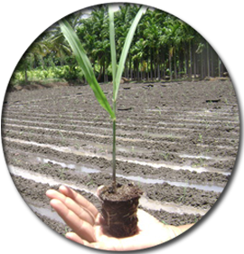 Cane drawing sugarcane crop. Expert system for