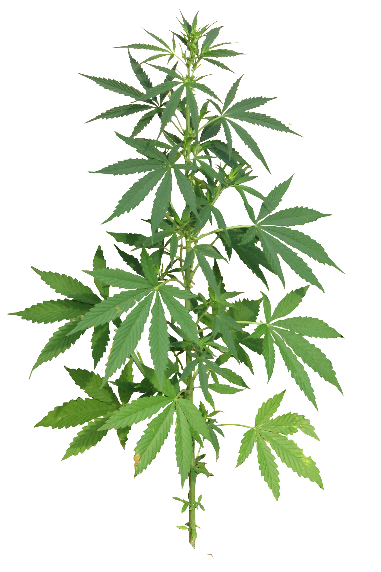 Cannabis flower png. Plant full image purepng