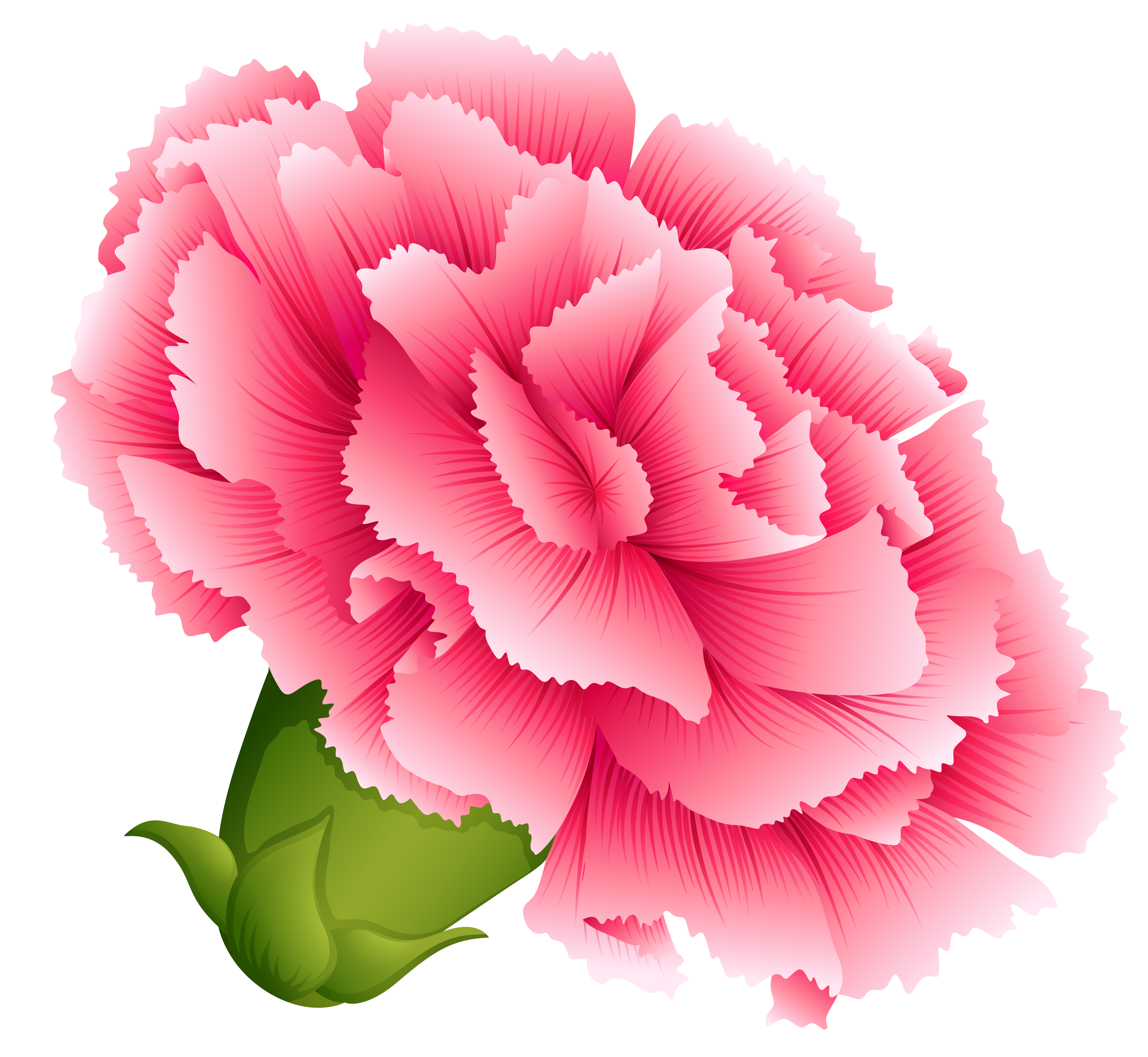 Carnation flower png. Pink clipart image gallery