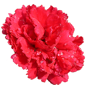 Carnation flower png. Red flowers images carnations