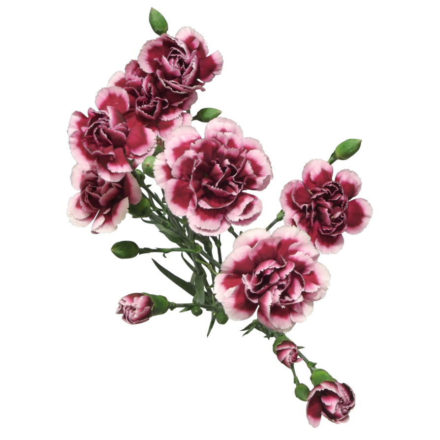 Carnation flower png. Cut flowers of by