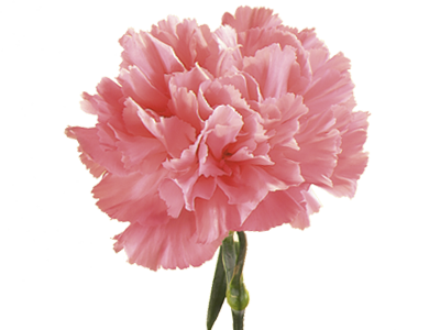 Carnation flower png. Symbolic meaning of teleflora