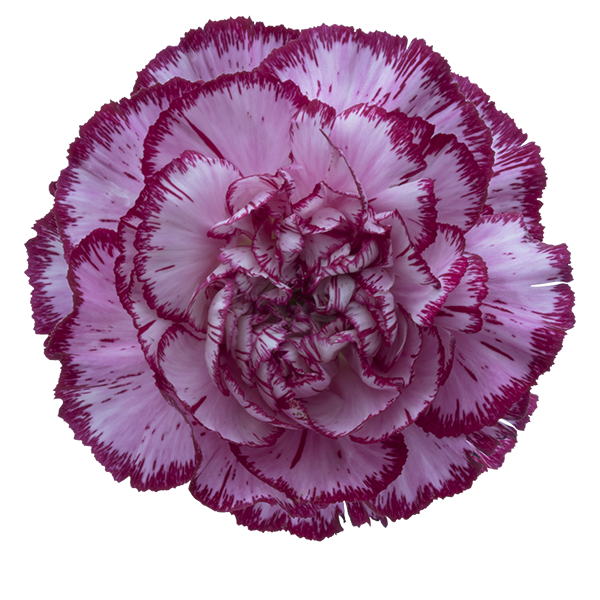 Carnation flower png. Colibri flowers s a