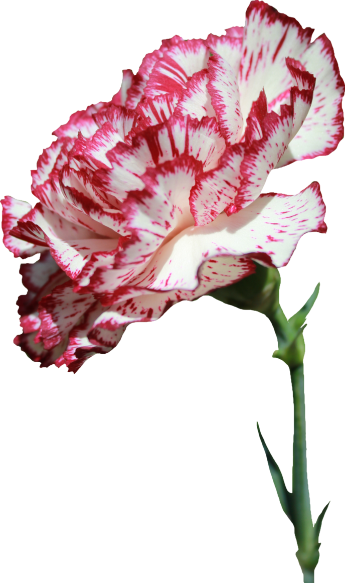 Carnation flower png. By thy darkest hour