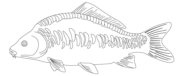Carp drawing. Collection of mirror