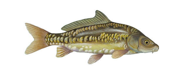 Carp drawing mirror. Gillguide comments show