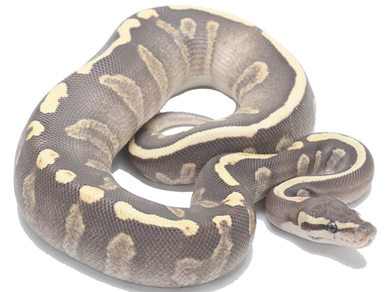 Carpet drawing python snake. Mojave ghi fire morphology