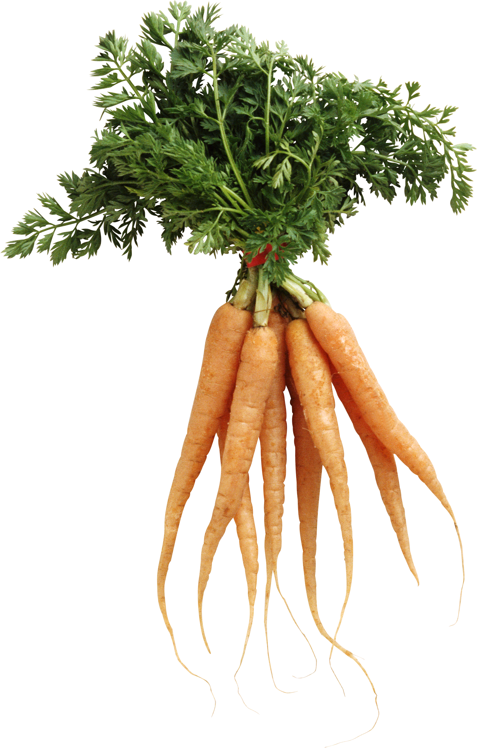 Carrot plant png. Image
