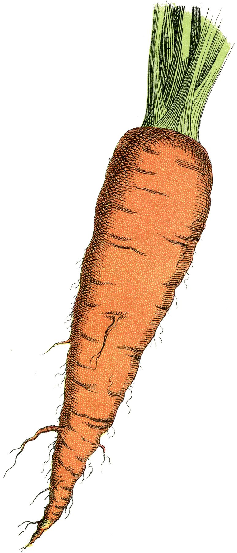 Carrots clipart edible root. Free carrot image pinterest