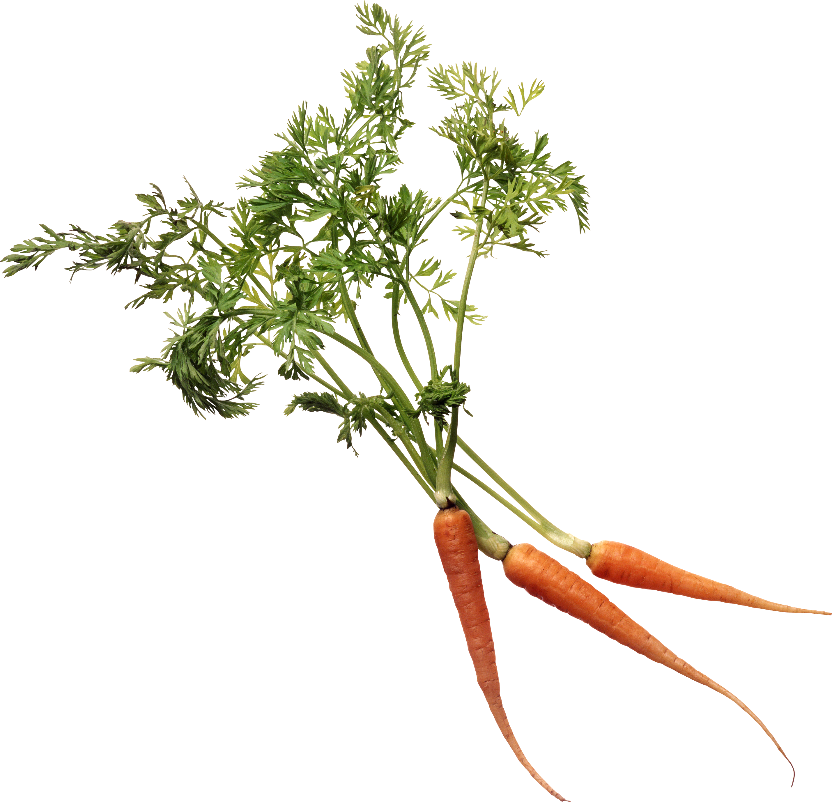 Carrots png stem. Carrot image purepng free