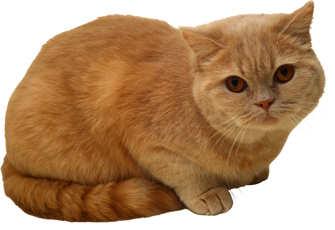 Cat arm png. Sitting image and images