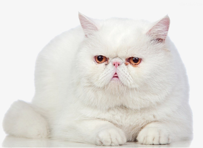 White persian png image. Cat clip art real clip library library