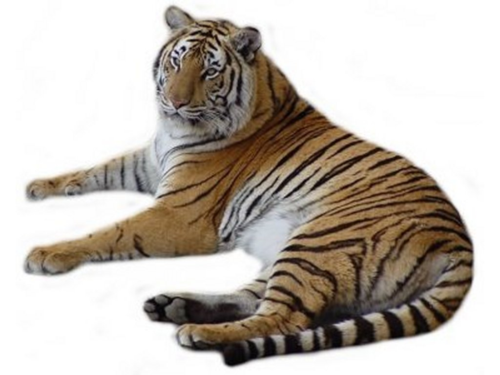 Free tiger tail cliparts. Cat clip art real jpg stock