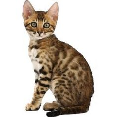 Cat clip art real. Persian on white background